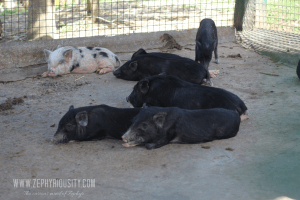 animal farm pigs paradizoo